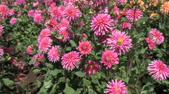 Stock Video Footage of Zooms on deep pink aster