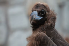 Black Vulture Stock Footage