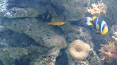Fish swimming in front of anemones Stock Footage