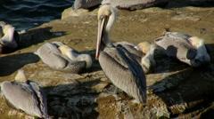 Pacific Brown Pelicans Grooming (HD) Stock Footage