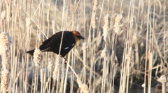 Yellow-headed Blackbird Stock Footage
