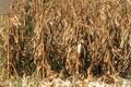 Combine Harvesting Corn Footage