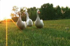 Curious Ducks Stock Footage