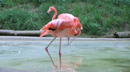 Stock Video Footage of Flamingo Grooming