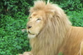 White Lion Yawning Footage