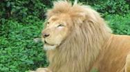 White Lion Yawning Stock Footage