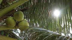 Coconuts and ray of beautiful sunlight through leaves of palm tree in Island Stock Footage