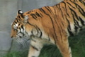Tiger Walking and Watching Footage