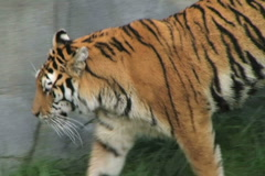 Tiger Walking and Watching Stock Footage