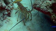Stock Video Footage of Spiny lobster coral reef