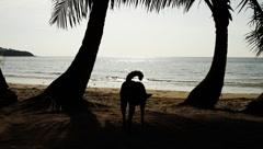 Dog wandering around beautiful exotic tropical beach in island Stock Footage