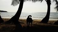Dog wandering around beautiful exotic tropical beach in island Stock Footage