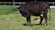Stock Video Footage of dairy cows 7088