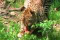 Cheetah Eating Raw Meat Footage