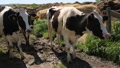 dairy cows 7077 HD Footage
