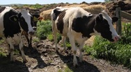 Stock Video Footage of dairy cows 7077