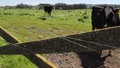 dairy cows 7075 HD Footage