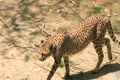 Cheetah Foraging Footage