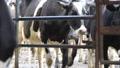 dairy farming 7070 Footage