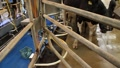 dairy farming 7064 Footage