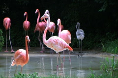 Flamingos Rushing Out of Water Stock Footage