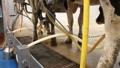dairy farming 7046 Footage