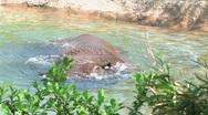 Stock Video Footage of Rhinoceros Bathing