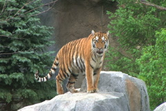 Tiger Rests on Rock Stock Footage