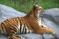 Siberian Tiger Alerted by Prey Stock Footage