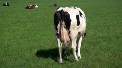 Behind the Cow - stock footage