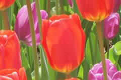 Tulip Garden Stock Footage