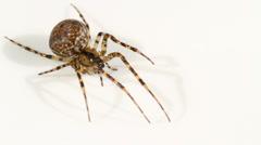 Metellina merianae spider Stock Footage