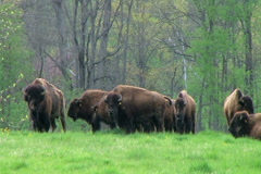 American Buffalo Grazing Stock Footage