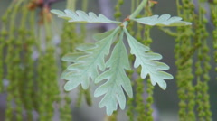White Oak Pollen Stock Footage