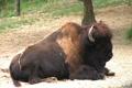 American Bison Footage