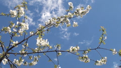 Flowered branch  at clear blue sky Stock Footage