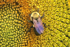 Bumble Bee on Sunflower 02 Stock Footage