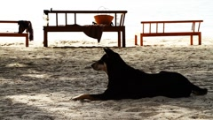 Dog resting on exotic tropical palm beach sand in Thailand island Stock Footage