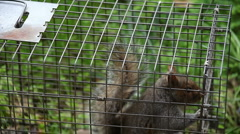 Squirrel in a trap Stock Footage