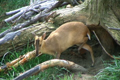 Muntjac Deer Grazing Stock Footage