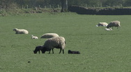 Stock Video Footage of Ewe with two black lambs. Sheep.