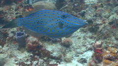Scrawled filefish marine life - stock footage