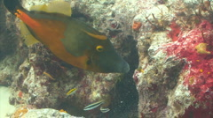 Filefish eating from coral marine life - stock footage