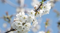 white blossom - stock footage