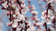 pink blossom - stock footage