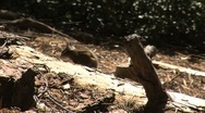 Stock Video Footage of Cute little ground squirrels playing and looking for food