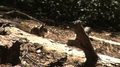 Cute little ground squirrels playing and looking for food - stock footage