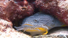 Splendid toadfish under coral ledge rare species Stock Footage