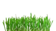 Time-lapse green grass growing - isolated with alpha channel - stock footage