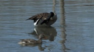 Goose Duck Sequence Stock Footage
